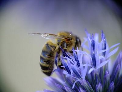 Allergie aux venins d'hyménoptères